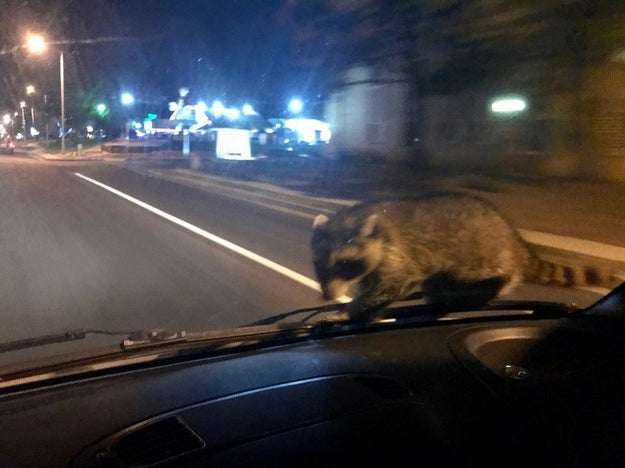 But sometimes, they accidentally find themselves in a bad spot. Meet Oblivious Raccoon, which suddenly found itself on a moving police van in Colorado Springs on Thursday.