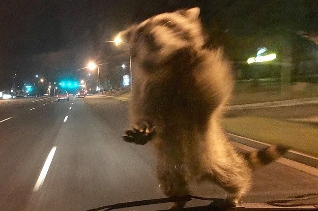 This Is The Story Of The Raccoon That Got Caught Riding On The Hood Of A Police Van
