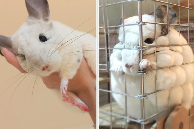 17 Chinchillas So Round And Cute That You'll Be Truly Astounded