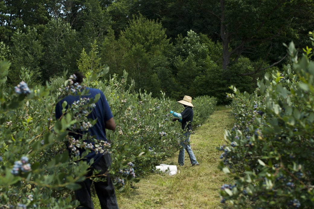 Annette Williams picks blueberries at her sister's farm in Covert, August 5, 2017.