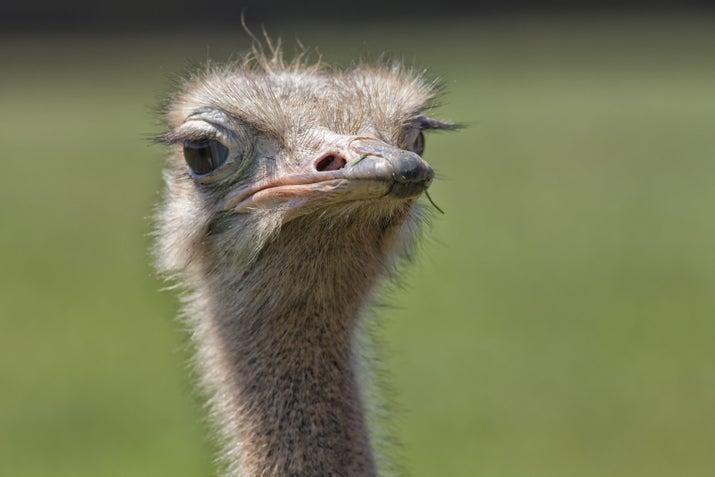 """Então, um olho de avestruz tem o tamanho de uma bola de bilhar (cerca de cinco centímetros em diâmetro). Agora imagine dois destes na cabeça de uma avestruz. Seu globos oculares são tão grandes que há apenas um pequeno espaço para seu cérebro. Então, por conta da ciência ser ciência e a evolução ser estranha, o cérebro de uma avestruz é menor do que seus olhos — o que faz sentido, considerando que ela corre em círculos para """"escapar"""" de predadores."""