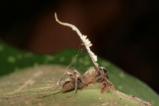 **SE QUISER VER ESSE HORROR, CLIQUE POR SUA CONTA E RISCO**Isso é o que acontece: um tipo específico de fungo depende de formigas para concluir seu ciclo de vida. Porém, este fungo é tão avançado, que não escolhe qualquer formiga. Ele sabe qual formiga específica deve atacar. Então, a formiga está buscando alimentos, cuidando da vida, quando come algo com esse fungo. O fungo se espalha imediatamente pelo corpo, liberando substâncias químicas que controlam a mente. Estas substâncias químicas sequestram o sistema nervoso central da formiga, forçando-a a escalar a vegetação e agarrar-se às folhas enquanto o fungo termina de matar o corpo. Então, o fungo cresce para fora do corpo morto da formiga, desenvolvendo um caule longo da cabeça, que eventualmente infectará mais formigas que entrarem em contato com ele, começando o ciclo novamente. Cara, que tenso.