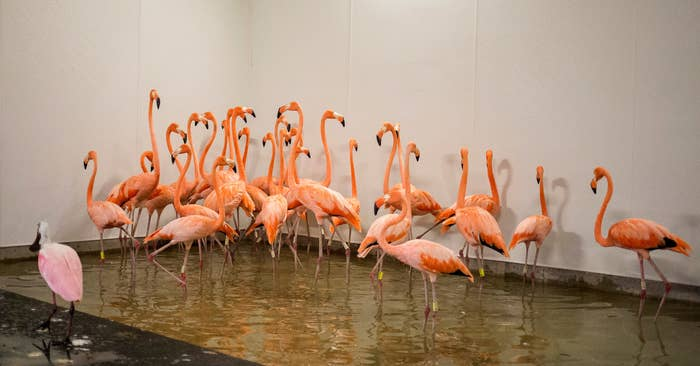 Flamingos take refuge in a shelter ahead of the downfall of Hurricane Irma at the zoo in Miami