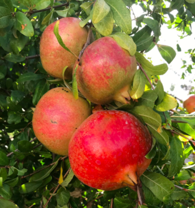 These are pomegranates.