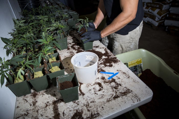 Steven Passmore, an Army veteran of the Iraq war, plants young marijuana clones in soil at THC Design in Los Angeles.