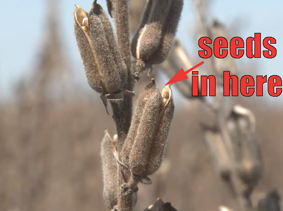 When the sesame plant reaches maturity, it opens to reveal all of the seeds inside.