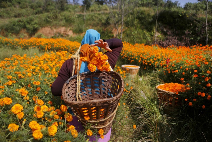 A Nepalese woman picks marigold flowers to make garlands during the Diwali festival in Kathmandu, Nepal, on Oct. 17, 2017. Marigold garlands are used as offerings to Hindu deities as well as for decorative purposes during Diwali.