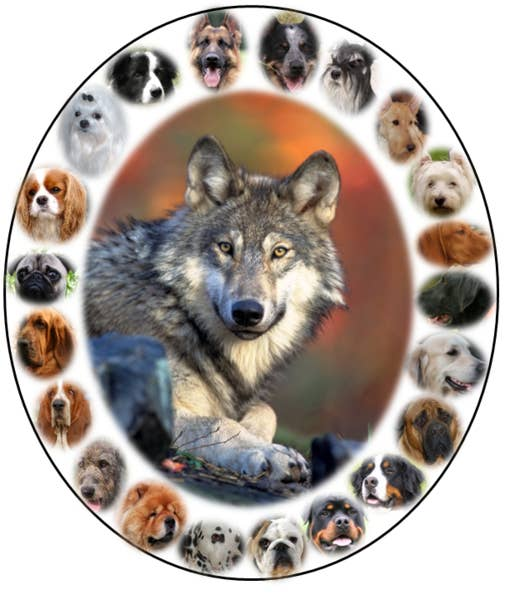 I.e., tens of thousands of years ago, humans began to domesticate and raise wolves, who have since evolved into hundreds of different species including your great-aunt's chihua-doodle.