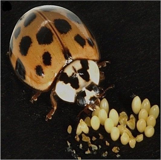 Reduz a concorrência e a falta de alimentos – as larvas individualmente são mais propensas a sobreviver quando têm menos irmãos para competir.
