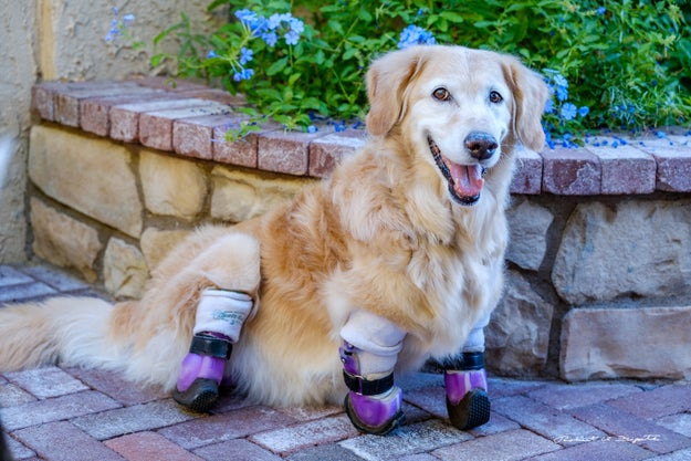 This is Chi Chi, a 3-year-old golden retriever living in Phoenix, Arizona.