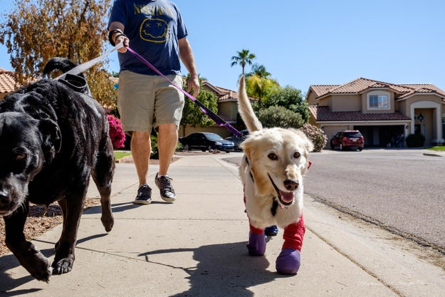 Once she was all settled in her new home, Chi Chi got fitted for her prosthetics.