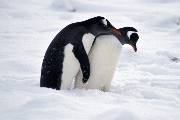 In 1912, scientist George Murray Levick observed a colony of penguins in the Antarctic. To his astonishment, he witnessed male penguins coerce female penguins into sex. He also observed them having sex with other male penguins and dead females.