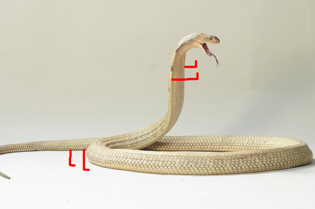 Like, IF snakes had legs, would they have four legs, strategically placed at either ends of their bodies?