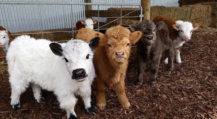 This photo is essentially Stranger Things 2 but with cows.