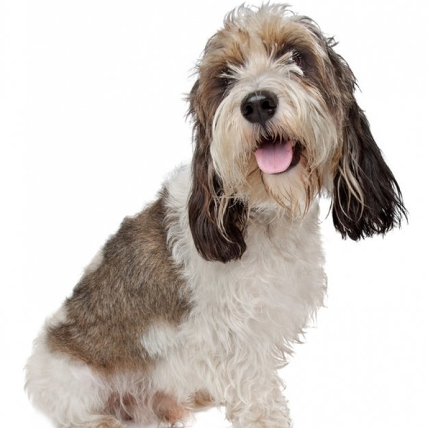 Which uncommon dog breed would you be - Petit basset griffon vendeen breeders toulon ...