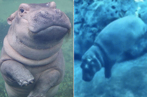 Fiona The Hippo Farting Underwater Is The Only Thing You Need To See Today