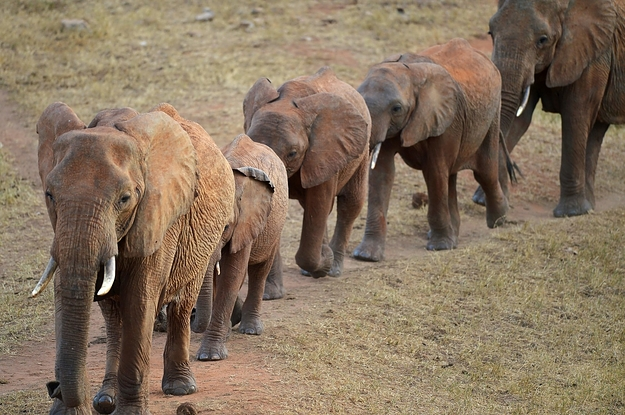 Trump Puts On Hold Decision To Allow Hunters To Bring Elephant Trophies To The US After Outcry