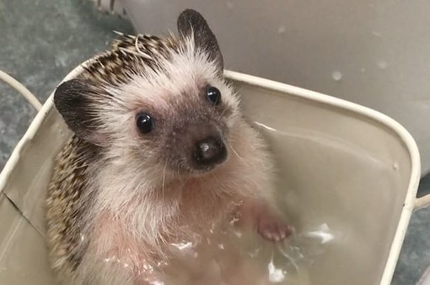 Here's An Adorable Hedgehog Taking A Bath Because The World Can Still Be Pure And Good