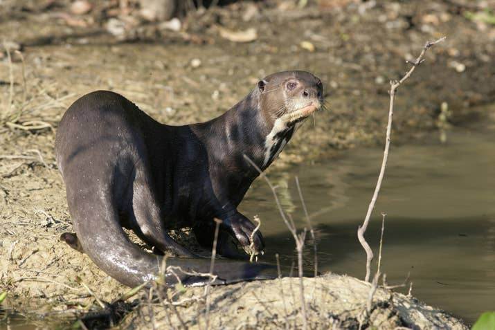 Giant otters can grow to be up to SIX. FEET. LONG.