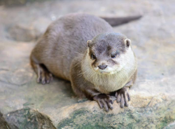 Something like these small-clawed otter guys would pop in my head.