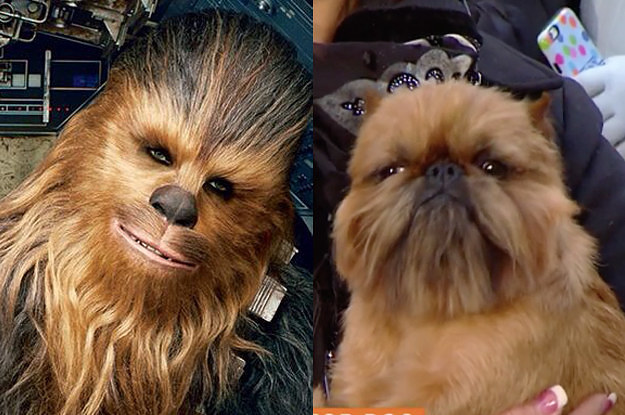 Here I Am, Ready To Talk About How The National Dog Show Winner Looks Like Chewbacca