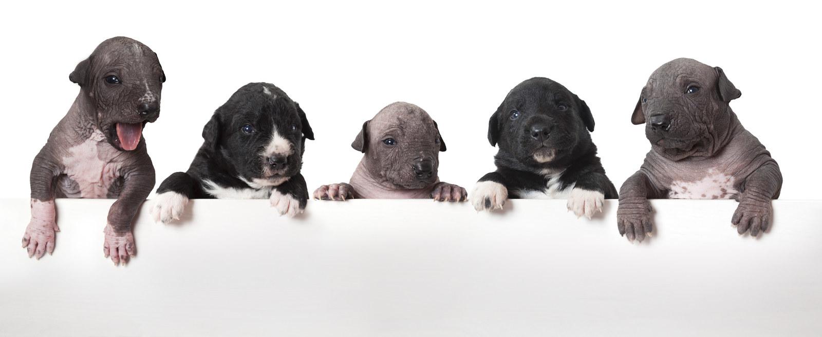 16 Cosas Que Necesitas Saber Sobre Los Perritos Xolos Si Amaste Coco