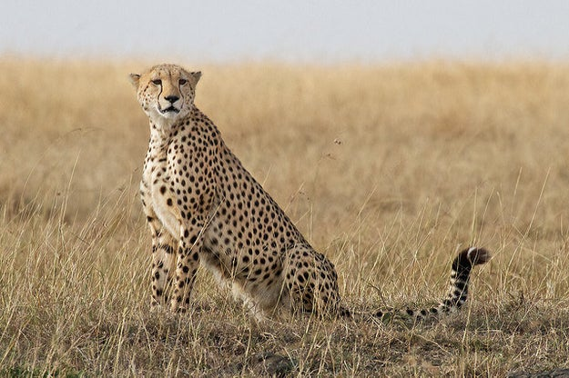 We are here to talk about Cheetahs. This is a cheetah.