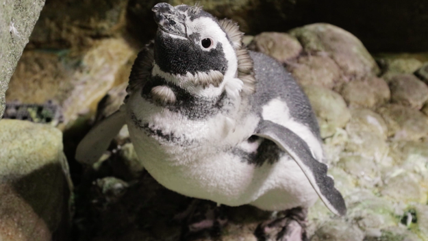 After sorting through some clam for the sea otters, it was time to meet the penguins, who immediately began vocalizing to let themselves be known in front of the newbies.