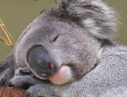 2017年のかわいい動物大賞は寝ているコアラに決まりました