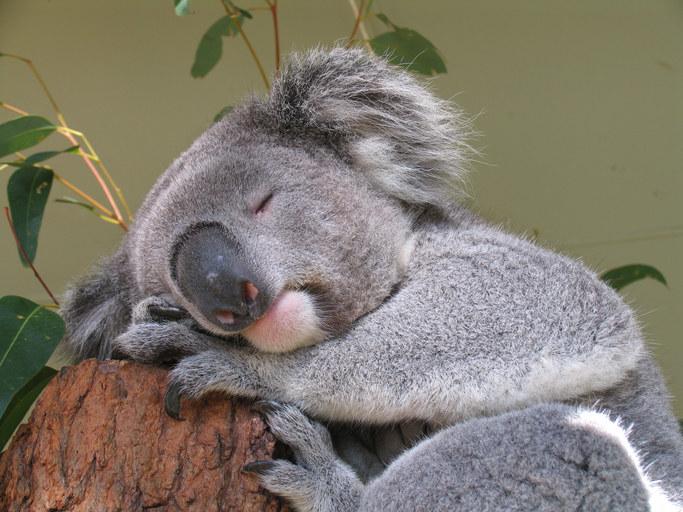 Ilustration コアラ の 画像
