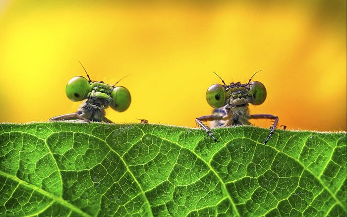 Two damselflies on a leaf in Zejiang province, China. One of the shortlisted images in the Royal Society of Biology's photo of the year competition.