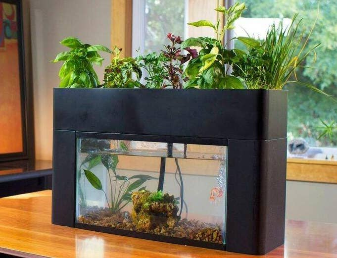 """The self-sustaining garden fits any standard 10-gallon aquarium, with the fish fertilizing the plants and the plants helping clean the tank's water. The garden includes adjustable drain extenders and a removable light bar. The garden can be used to grow herbs, veggies, and even decorative plants. Promising Review: """"As a second grade teacher I can honestly say this product has been life changing for my students. If you teach STEM and want to try alternative gardening, this is the product for you. My class started our grow bed in January 2017 and as of April 2017. we now have a thriving garden. There are so many ways you can tie standards into this system and you can incorporate writing across the curriculum. We love our tank and the support we receive from AquaSprouts!"""" —Amazon Customer Get it from Amazon for $160.27."""