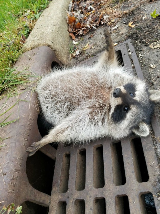 This raccoon, who overdid it on the trash.