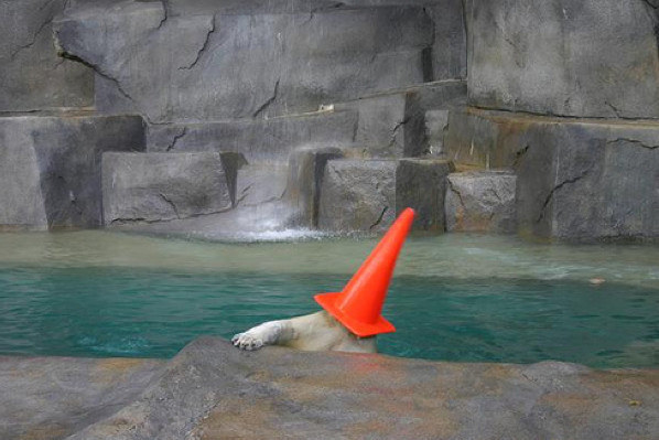 This polar bear, who I think might have underestimated the power of his fancy hat.