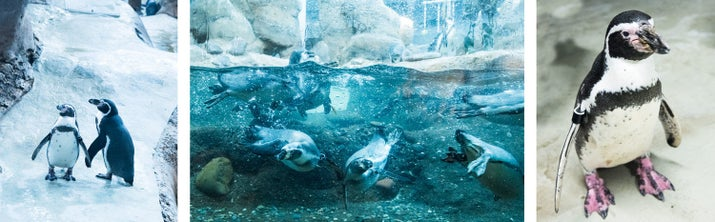 Feeding time at the Oregon Zoo for Humboldt penguins, an endangered, warm-weather species native to Peru and Chile.