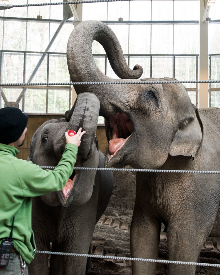 Lily and her mother, Rose-Tu, being fed apples by an elephant trainer.