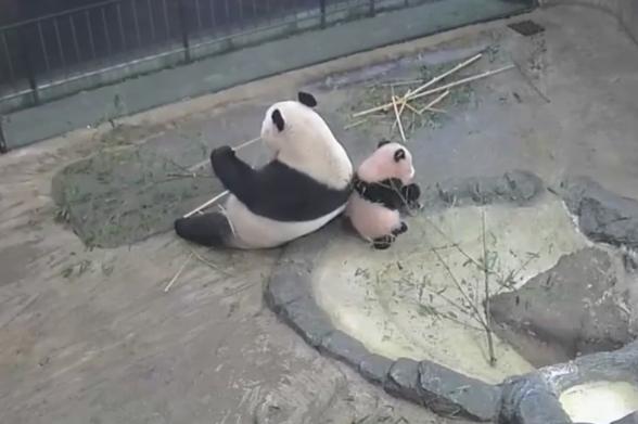 背中合わせのパンダ
