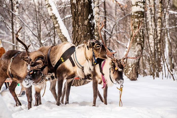 """The reason is pretty straightforward: Only female reindeer have antlers in wintertime.""""Reindeer — here we call them caribou — are one of the few species of Cervidae where the males and females both have antlers,"""" explained Andrew Hebda, the zoologist at the Nova Scotia Museum.""""Once [the males] finish breeding the antlers fall off and they regrow them.""""Females, on the other hand, keep their antlers until they give birth in the spring.""""So if you come across a reindeer with antlers this time of year, it's female,"""" said Hebda."""