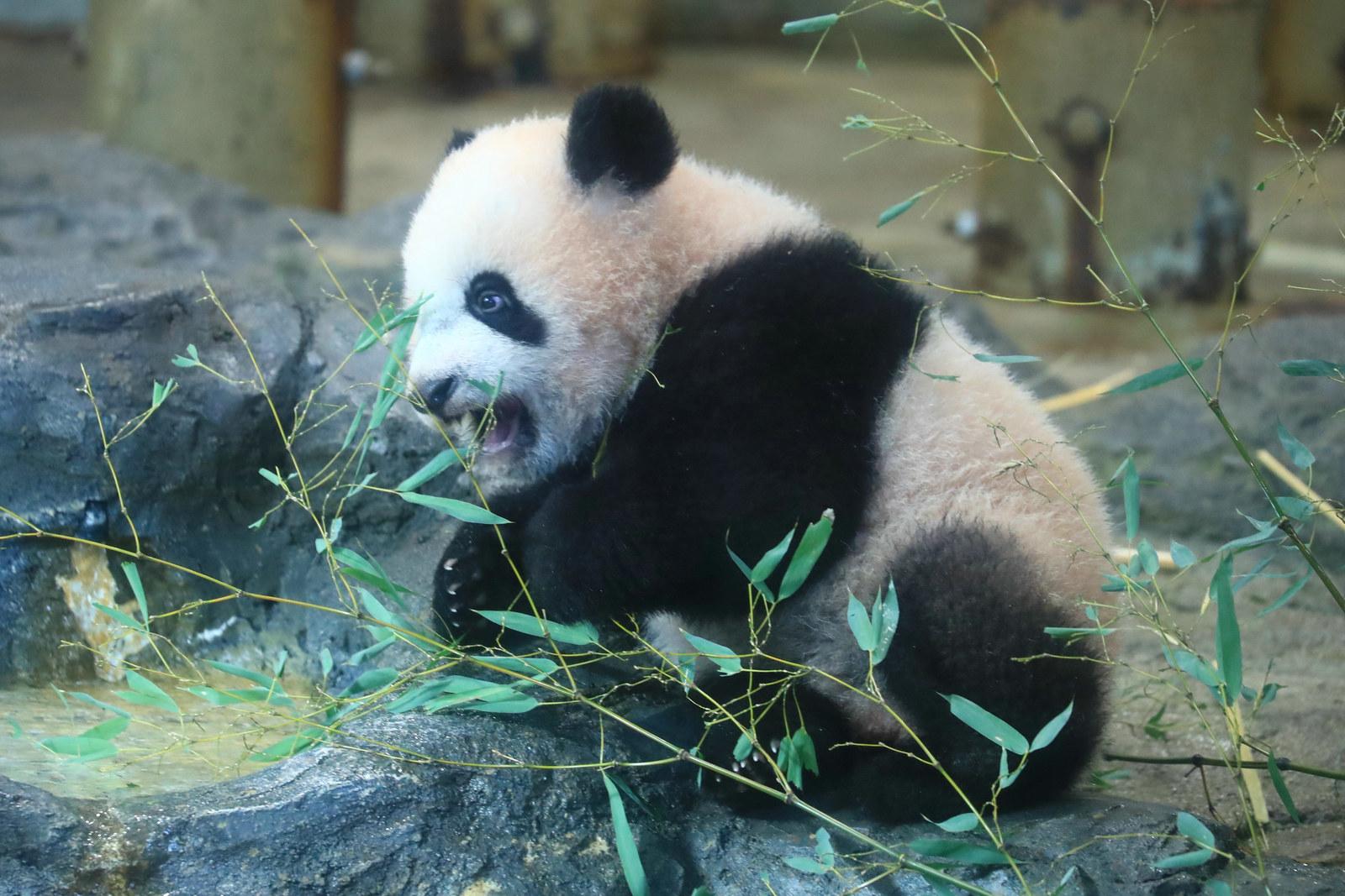 中国の報道官、聞き間違えて大笑い パンダも杉山さんも同じ「シャンシャン」