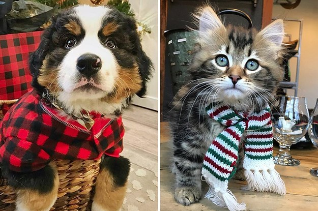 27 Pets Who Are All Dressed Up And Ready For Christmas