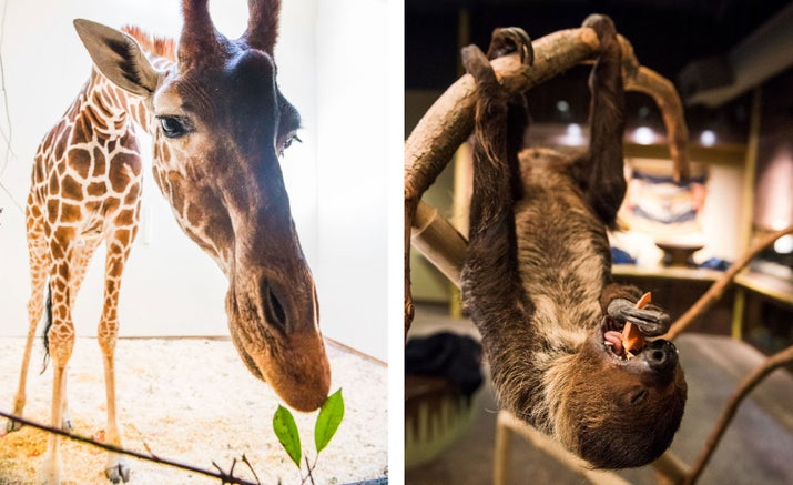 L: Desi, a reticulated giraffe. R: A recently rescued Linnaeus's two-toed sloth named Josie.