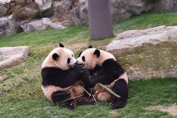 じゃれ合うパンダがかわいい