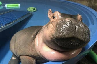 A Hippo Farting – Fashionsneakers club