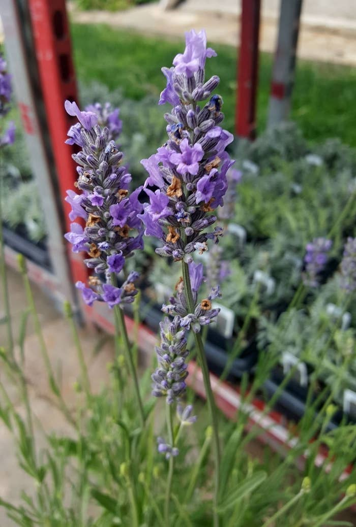 """Promising review: """"Arrived healthy and safely. Planting them indoors in a large pot 'til next Spring! Can't wait 'til I can smell the blossoms. I love lavender, it's calming, relaxing, and healthy. Lavender is the greatest!"""" –DyGet it from Amazon for $14.99."""