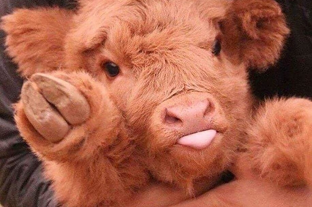 17 Pictures That Prove Cows Are The Most Wholesome Animals In The Universe