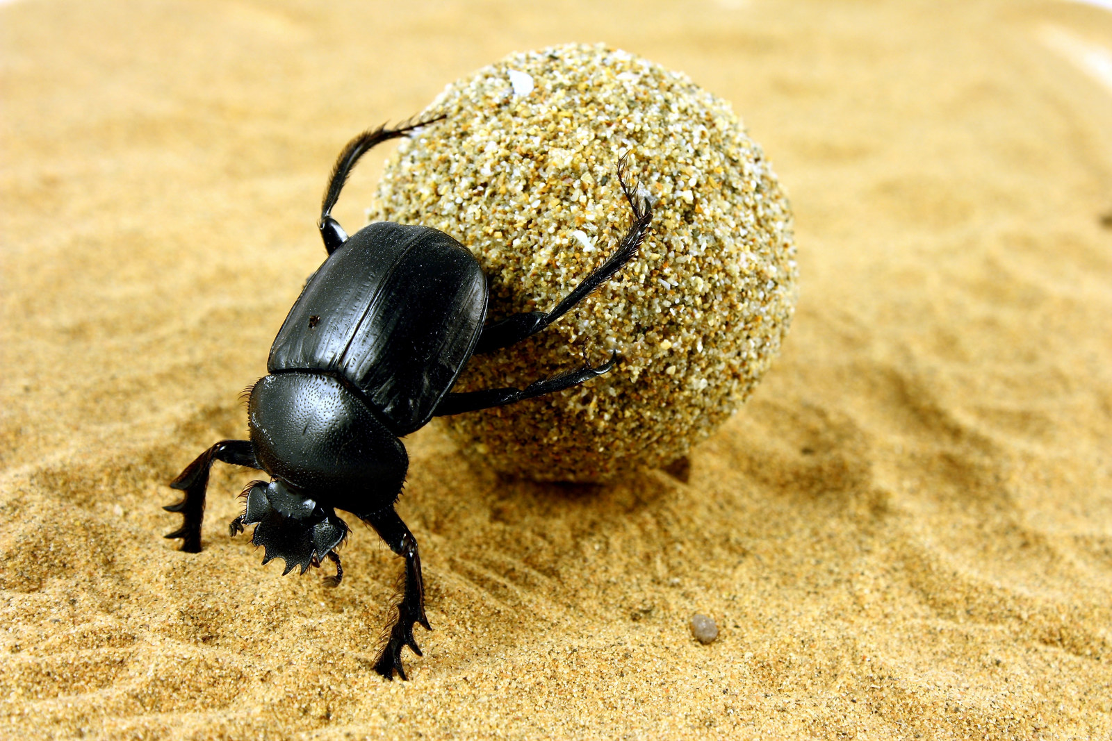 Dung beetles can roll their dung balls in a straight line when they can see the night sky, but not when it's overcast – leading scientists to conclude that they are using the stars, and the Milky Way, to navigate.