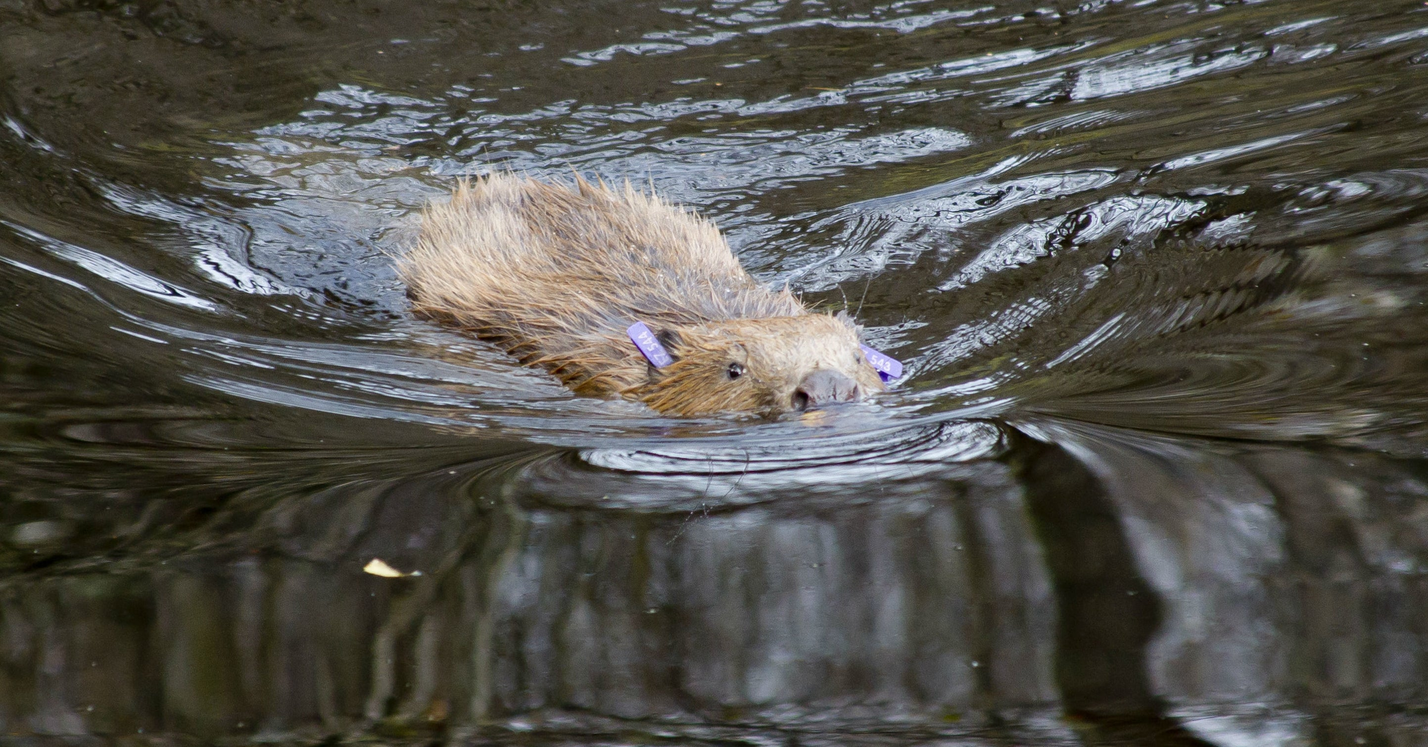 This Is Why Beavers Being Reintroduced In Britain Is A Good And ...