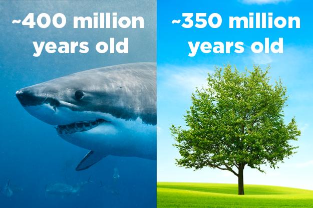 Sharks predate trees.