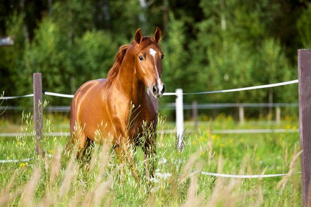 Horses can't vomit.