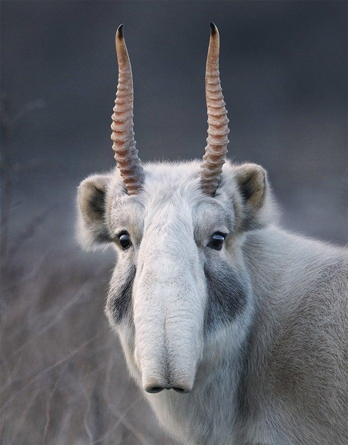 Saiga Antelope Status: Critically endangered Habitat: Kazakhstan and Russia